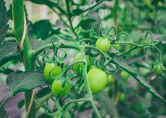 bio-tomaten-treibhaus-eiertomaten-vierlande-mama-maritas-gemuesekiste-hamburg