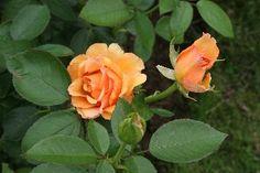 Sunstruck Hybrid Tea Rose,  Pictures and Cultivation www.allaboutrosegardening.com Exotic Flowers, Purple Flowers, White Flowers, Daffodil Flower, Cactus Flower, Floribunda Roses, Peonies Garden, Flowers Garden, Types Of Roses