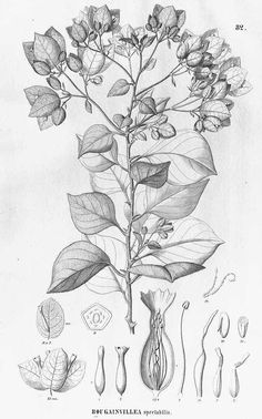 13611 Bougainvillea spectabilis Willd. / Martius, C., Eichler, A.G., Urban, I., Flora Brasiliensis, vol. 14(2): fasicle 58, t. 82 (1877)