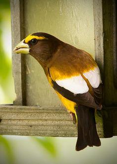 32 Best Birds Pacific NW images | Birds, Beautiful birds ...