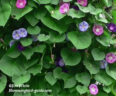 Hummingbird vine, step by step planting instructions and some tips. Hummingbird Flowers, Hummingbird Garden, Homemade Hummingbird Feeder, Morning Glory Vine, Morning Glories, Bird Nesting Material, Flowers That Attract Hummingbirds, Humming Bird Feeders, Humming Birds