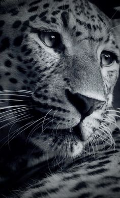 Leopard @✔ b l a c k w h i t e