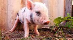 TOILET TRAINING YOUR PET PIG Toilet training your pet pig is easier than toilet training a toddler. Your new pet piglet needs to know where to go to the toilet especially if he is an inside pig. So here is a simply way to have your pet piglet using the