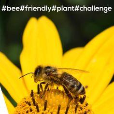 👉Czy znacie i lubicie internetowe challenge?😲 Kojarzycie akcje, jak Movember czy ALS Ice Bucket Challenge, które angażowały miliony i budowały świadomość problemów zdrowotnych czy społecznych? Teraz mamy dla Was propozycję zaangażowania się w pomoc ginącym pszczołom.🐝 W skrócie chodzi o to, aby w swoim ogrodzie, na tarasie lub balkonie zasadzić roślinę przyjazną pszczołom, zrobić zdjęcie albo film i opublikować go w swoich mediach społecznościowych z hashtagami #bee #friendly #plant.. Bee, Challenges, Film, Plants, Animals, Movie, Honey Bees, Animales, Film Stock