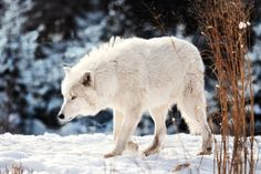 White Wolf by Tetyana Kovyrina on 500px