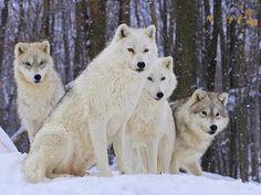 lupi dell'Artico