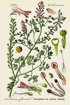 Fumeterre (Fumaria officinalis)| Remèdes de Grand-Mère