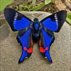Blue butterfly with black tips.