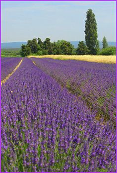 lavender field near Chantemerle-Les-Grignan