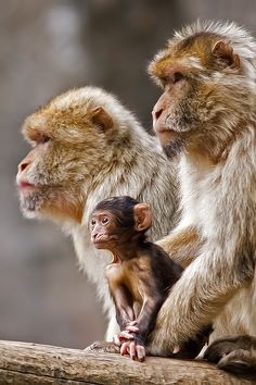Nice shot of monkey family, unsure of species They look like Japanese Snow Monkey