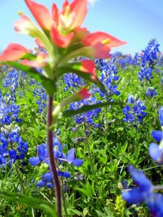 wild flowers | Texas Bluebonnets and wildflowers, along Texas highways, photos by Liz ...
