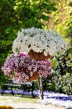hanging baskets of petunias Petunia Hanging Baskets, Hanging Flower Baskets, Hanging Planters, Hanging Gardens, Fall Planters, Petunia Care, Petunia Plant, Container Plants, Container Gardening