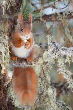 "angel-kiyoss: ""Red squirrel """