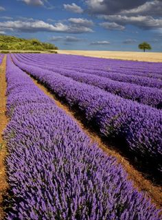 Sequim, WA looking forward to visiting here in May. Won't be there for the lavendar festival but still excited to go.