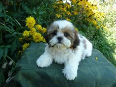 Male Shih Tzu puppy