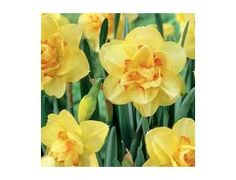 Double Daffodils have extra petals present, or have a double trumpet, and sometimes both. This double effect makes a very interesting flower that will add a special touch to any garden or landscape. Often Double Daffodils have more than one flower per stem and many varieties have a wonderful fragrance.