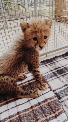 Baby cheetahs are the cutest! Cute Little Animals, Cute Funny Animals, Gatos Cool, Cute Creatures, Animal Photography, Animals Beautiful, Animals And Pets, Fur Babies, Puppies