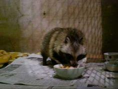 仔タヌキくるみ / Raccoon dog