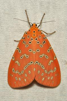 Crotalaria Podborer (Mangina (formerly Argina) argus, Arctiinae, Erebidae)