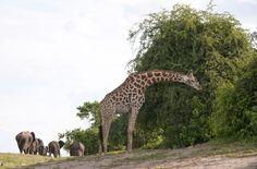 Giraffe and Elephants at Chobe National Park, Botswana