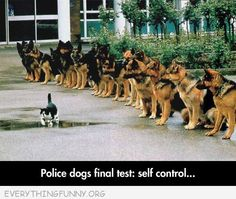 funny caption german shepherds self control cat walks by police dogs