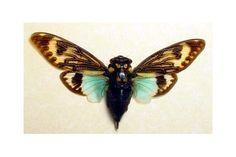 Framed Thai Cicada