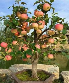 Egrow 100 Pcs/Pack Apple Tree Seeds Garden and Home Potted Fruit Red Apple Seed Bonsai Plants at shoppingdiscountsVery Rare Dwarf Apple Tree Sweet Fruit Planted Fruit Trees Seeds. Apple can adapt to most of the climate. Dwarf Fruit Trees, Fruit Plants, Bonsai Plants, Bonsai Garden, Fruit Garden, Garden Plants, Bonsai Seeds, Outdoor Plants, Ficus