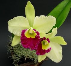 Google Image Result for http://www.orchidsflowers.net/wp-content/uploads/2010/08/Cattleya-Orchid-1.jpg