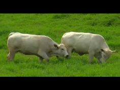 How to Breed Romagnola Cattle - TvAgro por Juan Gonzalo Angel