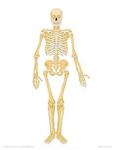 human-skeleton-labeled (1159×1500) | drawing anatomy | pinterest, Skeleton