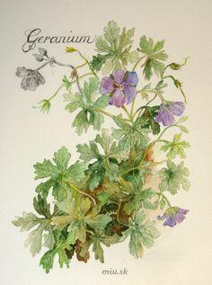 Pakost – Geranium – miu.sk