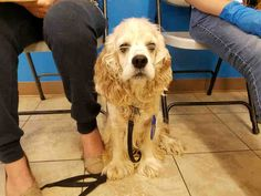 11/28/16- SUPER URGENT - HOUSTON FACILITY IS OVER CAPACITY -SHADOW - ID#A472870  My name is SHADOW  I am a male, cream and white Cocker Spaniel.  The shelter staff think I am about 4 years old.  I have been at the shelter since Nov 22, 2016.  This information was refreshed 1 hours ago and may not represent all of the animals at the Harris County Public Health and Environmental Services.