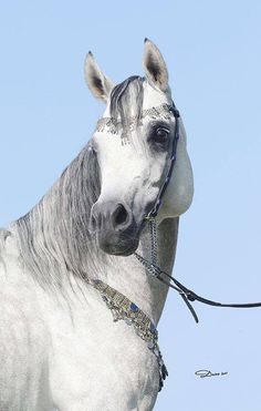 Merlin El Nader Nader Al Jamal x Al Amal AA  2011 Stallion  Straight Egyptian
