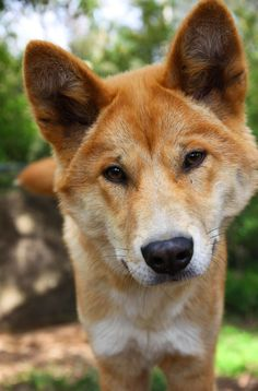 For the first time in Healesville Sanctuary's 79 year history, Dingoes are being let loose this Summer. Come and visit them at the Sanctuary from the of December. African Wild Dog, Australia Animals, Rare Animals, Wild Dogs, Dog Paws, Animal Photography, Mammals, Best Dogs, Dog Breeds