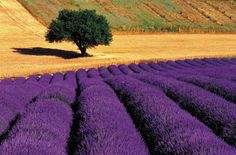 and organic lavender essential insomnia,lower blood pressure,improve respiratory system