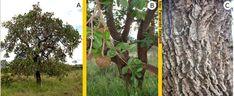 Araticum - A - Árvore com altura de cerca de 5 metros, com frutos maduros e de vez; B – ramos portando frutos; C – ritidoma (casca externa do tronco e ramos). Núcleo Rural Boa Esperança II, Distrito Federal. 16/02/2007.
