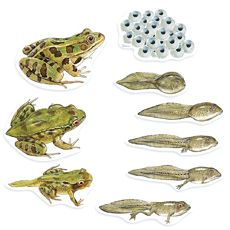 GIANT FROG LIFE CYCLE MAGNETS.
