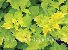 """Terra Nova® 'Green Lantern' (12""""; trailing) The only trailing Coleus with lime foliage! With a full habit and fresh, tangy green ruffled foliage it's a new twist on easy to grow, easy to love foliage plants. A brilliant choice for combo baskets in the shade. Sun tolerant but keeps the best acid lime color with some afternoon shade."""