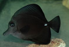Black Tang | Zebrasoma rostratum Max Length: 8.5 inch Range: Pacific Feeding ...