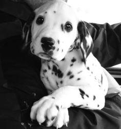Dalmatian baby rio