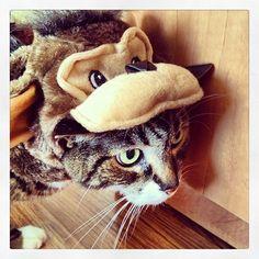 """""""I deed no sine op fer dis sh&%!"""" #Halloween #HappyHalloween #SimonAndStellaCats #Stella #Simon #cats #cat #kitty #kitties #kitteh #kittehs #gato #gatos #monkeybuns #furpig #neko"""