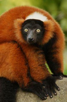 Red-ruffed lemur (Varecia rubra) //Ruffed lemurs (Varecia)