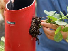 Awesome way to grow strawberries using old rain boots.