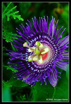 Passionflower  'Purple Haze' Passiflora