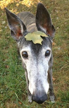 Autumn Echo Greyhound