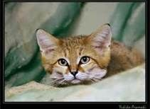 sand cat - Bing Images