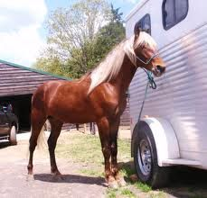 The Mountain Pleasure Horse of Eastern Kentucky, U.S.A. is a gaited horse, used as a pleasure and trail mount.