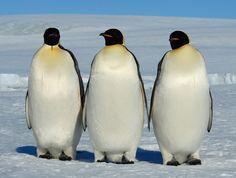 Emperors Emperor Penguin, Antarctica, Penguins, Penguin