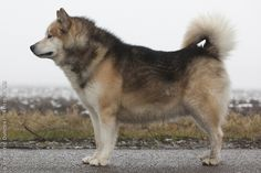 The Greenland Dog was bred in ancient Greenland (today owned by Denmark) as a… Husky Type Dogs, A Husky, Unique Dog Breeds, Rare Dog Breeds, Greenland Dog, All Types Of Dogs, Spitz Dogs, Japanese Spitz, Purebred Dogs