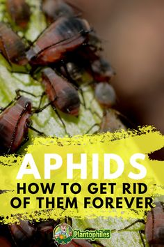 Get Rid of Aphids? Probably not as easy as you thought! Still, with our 101 Guide you will get rid of these pesky pests....for SURE! Get Rid Of Aphids, Build A Greenhouse, Plant Diseases, Photosynthesis, New Growth, Plant Needs, All Plants, Indoor Gardening, Outdoor Plants